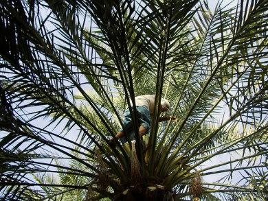 Date palm added to UNESCO Intangible Heritage list
