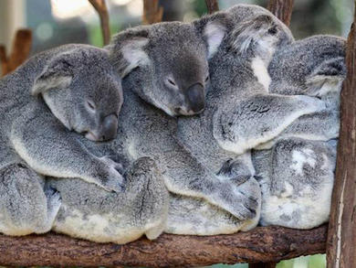 An Australian zoo is running a 24/7 koala livestreaming service